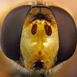 Hover fly head with compound eyes